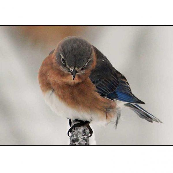 Bluebird Maine