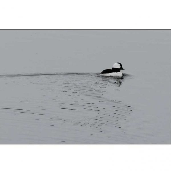 Bufflehead Maine