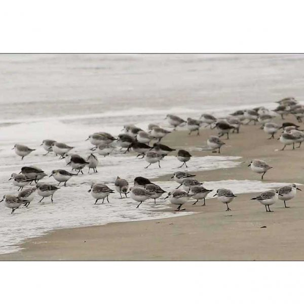Sandpipers Maine