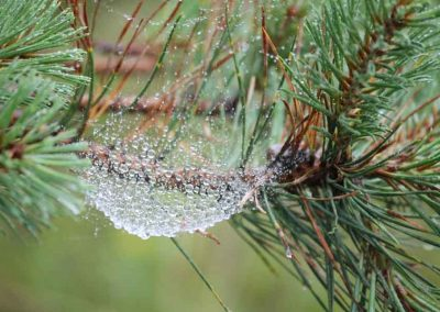 Web Pine